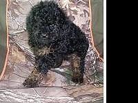 I have 2 female Shih-Poo's they are 8 weeks old and are