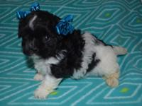 Adorable Shih Poo Puppies, Male and Female, fun loving