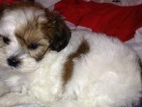 We only have 2 shihpoo puppies still available. These