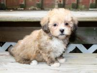 We have a beautiful litter of ShihPoo puppies