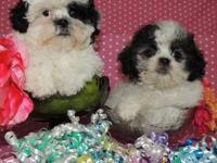 THESE ADORABLE LITTLE GIRLS ARE SHIH POO PUPPIES. A MIX