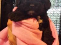 Cute little Shih-poo young puppies offered July 17th.