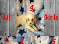 Shih-Tzu/Poodle puppies ready now. 2 boys and 7 girls.