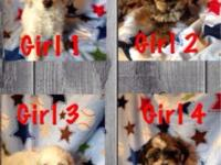 1 male and 5 female shih-poo puppies ready now. They