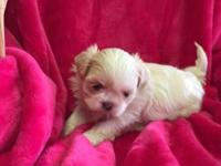 Adorable Shih Poo puppies, Males are 600.00 and Females