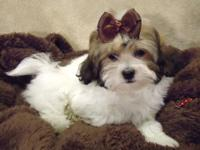 Anna and Macy are two sweet little Shih Poo puppies!