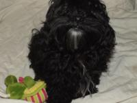 I have 1 Shih-poo, male 5 months aged. Extremely