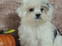 THIS LITTLE GIRL IS A SHIH POO PUPPY . SHE IS A GHOSTLY