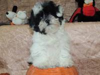 THIS LITTLE GOBLIN IS A MALE SHIH POO PUPPY . HE IS