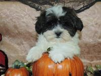 THIS LITTLE PUNKIN IS A MALE SHIH POO PUPPY. HE IS