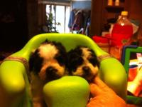 We have 2 gorgeous male Shih Poo puppies ready for