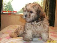 Look at me ! I was born 05/14/13. Shih-Poos or Shih-Tzu