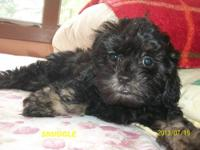 Shih-poo Shih-poo Puppies! Cash only.Ready to go UTD on