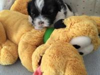 Adorable Shih Poo puppies that are very affectionate