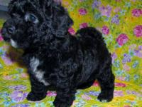 Shih poo puppy, Toy Poodle, Shih tzu. Dad weighs 6