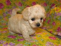 Shih-Poo puppy, Toy Poodle, Shih tzu. Hypo allergenic.