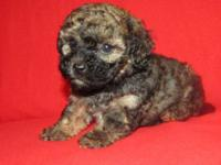Shih Poo. Dad weighs 6 pounds and mom weighs 10 pounds.