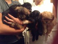 Five beautiful puppies are for sale! There are two