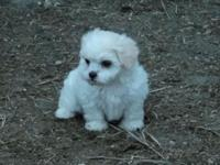 Darling Shih-Poo puppies. Raised in our home around