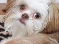 SHIH TZU beautiful 8 month old boy shots house trained