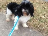 Male toy Shih tuz not fixed but is housebroke great