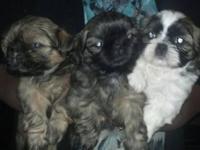 3 female Shih tzu pups. Ready on 10/28/13 (8wks). Both