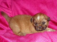 Imperials - Shih-Tzu Puppy. A.K.C. Registered with