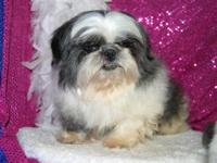 I have a beautiful female shih Tzu for sale. She is a