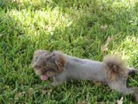 Oliver is an AKC registered Shih Tzu. He is 5 years old