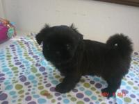 This little female is small in size she is black with a