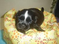 This little male is black with a white star or blaze he