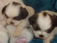 We have a Gorgeous Litter of AKC Champion Lines. The