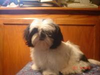 Shih Tzu AKC signed up Black and White She has a full