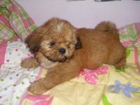 Imperials - Shih-Tzu Young puppy - Female A.K.C.