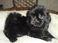 Shih-Tzu Puppy - Female. Sugar is A.K.C. Registered
