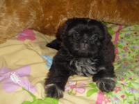 Imperials -Girl - Shih-Tzu - New puppy. A.K.C.