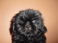Lady - Shih-Tzu - Puppy. Sweets is A.K.C. Registered