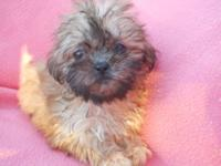I have this beautiful little shih Tzu puppy available
