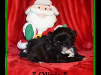 SHIH-TZU Female AKC to pet home. Priceless, Adorable,