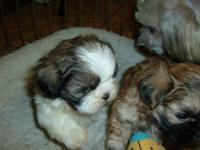 I have a variety of colors of Shih Tzu puppies that