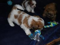 AKC quality adorable Shih Tzu puppies are ready for