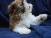 AKC Shih Tzu puppies are ready for adoption. Shih Tzus