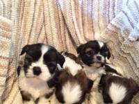 CHRISTMAS SHIH TZU PUPS. 4 MALES. THEY WILL BE READY