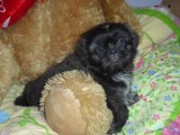 Shih-Tzu Puppy - Female. A.K.C. Registered with