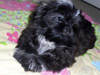 Shih-Tzu Young puppy - Imperials A.K.C. Registered with