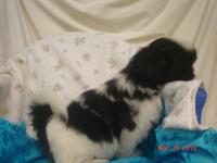 Shih Tzu AKC signed up Male Black and White there were
