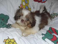 Lady Imperials - Shih-Tzu Puppy. A.K.C. Registered with