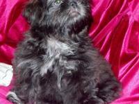 Imperial - Shih-Tzu - Lady - New puppy A.K.C.