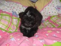 Female - Shih-Tzu Puppy - Imperials. A.K.C. Registered