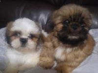 I have sweet pure breed little puppies 2 boys looking